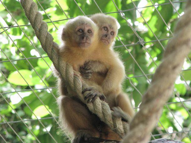 Macaco-prego-galego, redescoberto no Nordeste