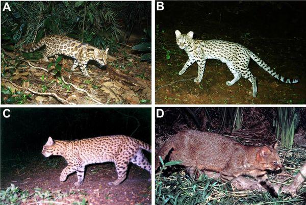 A)'Leopardus tigrinus', ou gato-do-mato-pequeno, do Sul e Sudeste; B)'L. tigrinus' do Nordeste; C)'L. geoffroy', ou gato-do-mato-grande; D)'L. colocolo', ou gato-palheiro. Crédito: Projeto Gatos-do-Mato - Brasil