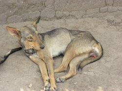 Cão da Tanzânia afetado pelo tumor genital (Crédito: Divulgação)