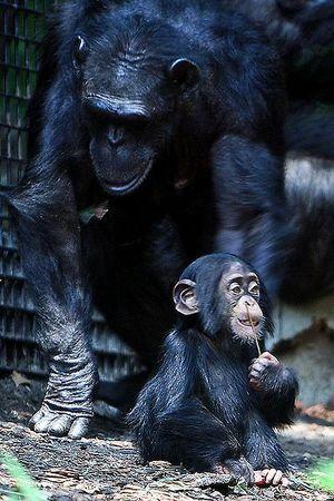 Mãe chimpanzé com filhote (Crédito: Creative Commons)