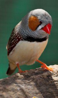O mandarim, principal modelo do estudo do aprendizado do canto das aves (Crédito: Creative Commons)