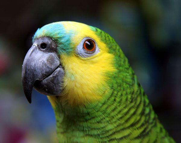 """Qual será o segredo da """"fala"""" do papagaio? (Crédito: Divulgação)"""