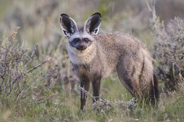 Que orelhas grandes você tem! (Crédito: Creative Commons)