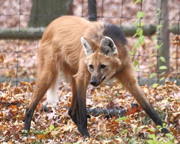 O lobo-guará, um clássico brasileiro (Crédito: Creative Commons)