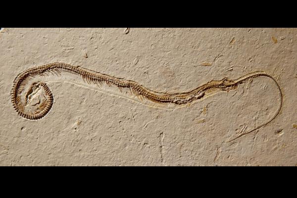 O fóssil da chapada do Araripe (Crédito: Divulgação)