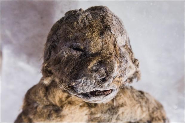 Leãozinho mumificado pelo frio: ainda dá pra ver parte dos bigodes (Crédito: Vera Salnitskaya)