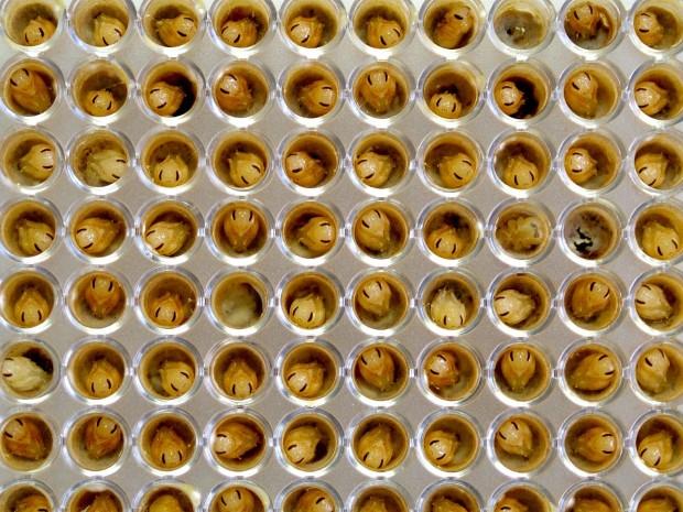 """Pequenas rainhas da espécie """"fazendeira"""" se desenvolvendo em laboratório (Crédito: Cristiano Menezes/Divulgação)"""