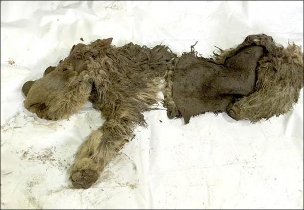 Conheça Sasha, o bebê de rinoceronte-lanoso (Crédito: Academia de Ciências de Yakutia/Divulgação)