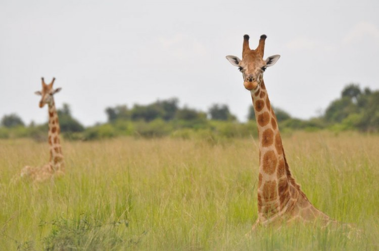 Girafa-núbia pensando na vida em meio ao capim alto. (Crédito: Julian Fennessy/Divulgação)