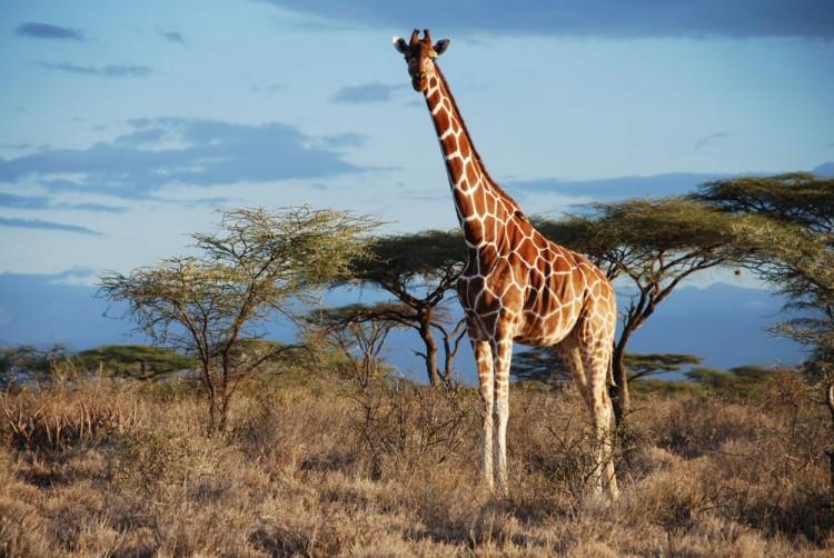 Girafa-reticulada no Quênia. Você obviamente sacou na hora a diferença entre ela e a girafa-do-norte. Né? (Crédito: Julian Fennessy/Divulgação)